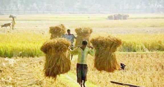 ঝিনাইদহে আমন মৌসুমের ধান ঘরে তুলে খুশি না কৃষকরা
