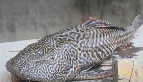 খাইঞ্জার হাওরে ধরা পড়লো বিরল প্রজাতির মাছ