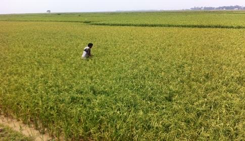 হবিগঞ্জে শিলা বৃষ্টিতে ইরি-বোরোর ব্যাপক ক্ষতি