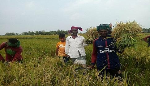 আজমিরীগঞ্জে বোরোর বাম্পার ফলন কৃষকের মুখে হাসি