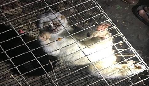 মৌলভীবাজারে বিরল প্রজাতির লজ্জাবতি বানর উদ্ধার