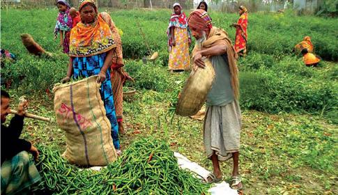 সিরাজগঞ্জে লাল মরিচের ঝাঁজে কৃষকের মুখে হাসি