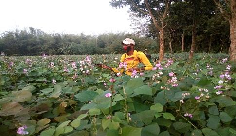 চুয়াডাঙ্গায় সবজি ক্ষেতে দিন দিন বৃদ্ধি পাচ্ছে কীটনাশকের ব্যবহার