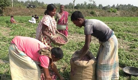 দিনাজপুরে আলুর বাম্পার ফলন,লাভবান হচ্ছে মধ্যভোগী ব্যবসায়ীরা