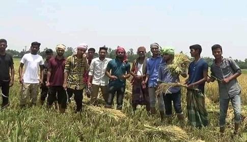টাঙ্গাইলের সেই কৃষকের জমির ধান কেটে দিলো শিক্ষার্থীরা