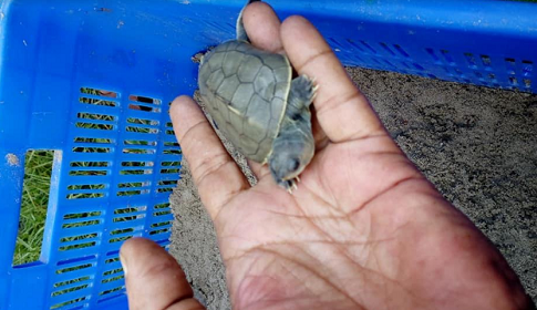 সুন্দরবনে বিলুপ্ত প্রজাতির কচ্ছপের ডিম থেকে ২১টি বাচ্চা ফুটেছে