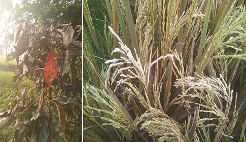 ইট ভাটা গিলে খাচ্ছে আবাদী জমি, রাস্তাঘাটের বেহালদশা