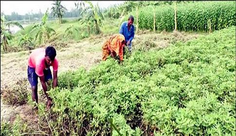 ফুলছড়ির চরাঞ্চলে বাদামের বাম্পার ফলন