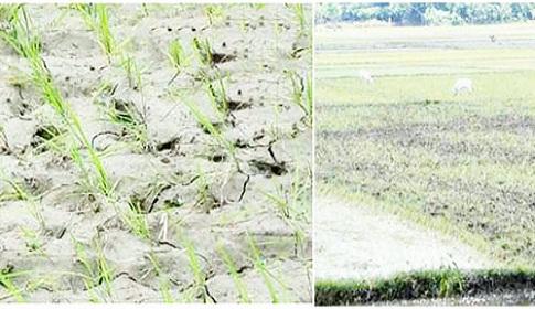 পলাশবাড়ীতে আমন রোপণ ব্যাহত, কাঙ্ক্ষিত বৃষ্টির দেখা নেই