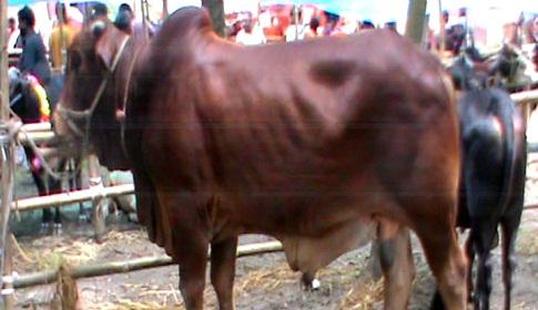 দেশী গরু-খাসিতে ভরে গেছে ধামরাইয়ের বড় চারটি হাট