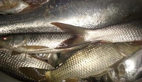 গৌরীপুরে বিষ প্রয়োগে ৩ লক্ষ টাকার মাছ নিধনের অভিযোগ