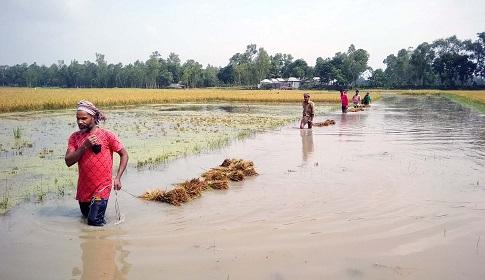 টাঙ্গাইলে বৃষ্টির পানিতে তলিয়ে গেছে কৃষকের স্বপ্ন