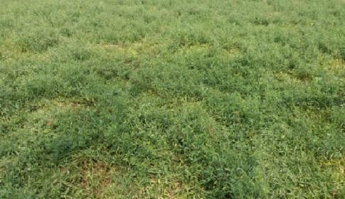 গলাচিপায় খেসারির বাম্পার ফলনের সম্ভাবনা