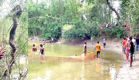 কচুয়ায় গাছে মিললো ৭ ফুট লম্বা অজগর
