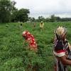 মজুরি বৈষম্যের শিকার পলাশবাড়ীর নারীরা