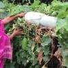 টাঙ্গাইলের গ্রামীণ চিত্র পাল্টে দিলেন জাতিসংঘ পুরস্কারপ্রাপ্ত আদর্শ চাষি রিনা বেগম