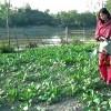 সবজি চাষ করে স্বাবলম্বী রাণীনগরের সানজিদা আক্তার