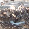 দিনাজপুর রামসাগরে ঝিমিয়ে পড়ছে চঞ্চল চিত্রা হরিণ
