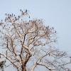 রাণীশংকৈলে শিমুল গাছে পানকৌড়ির অভয়রাণ্য