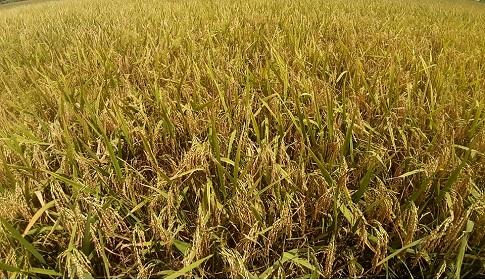 আগৈলঝাড়ায় বোরোর বাম্পার ফলনে কৃষকের মুখে হাসি