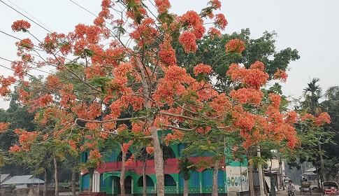 কৃষ্ণচূড়ার রঙে রঙিন গৌরীপুর শহর