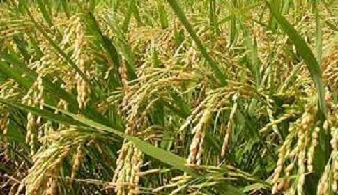 সুনামগঞ্জে সাড়ে ৩ হাজার কোটি টাকার ধান উৎপাদন