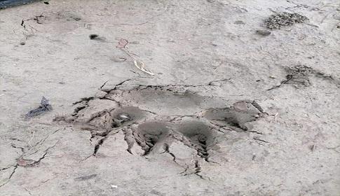 মাগুরায় মরিচের ক্ষেতে বাঘের পায়ের ছাপ, আতঙ্কে গ্রামবাসী