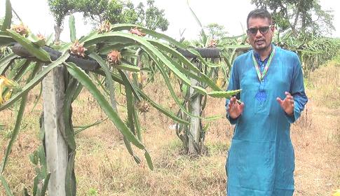 দিনাজপুরে বাণিজ্যিকভাবে 'ড্রাগন' চাষ