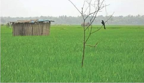 ধানের ক্ষতিকর পোকা নিয়ন্ত্রণে সালথা উপজেলা কৃষি অফিসারের পরামর্শ