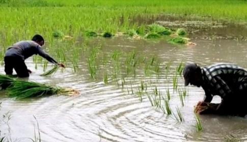 আমন রোপনে ব্যস্ত গলাচিপার চাষিরা